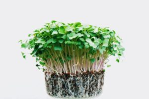 indoor microgreens